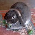 Mini-lop rabbit, aka Holland lop