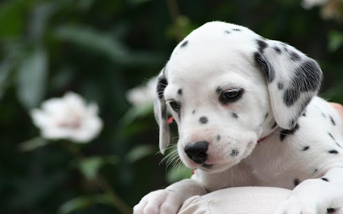 Dalmatian Dog Breed HD Images - screenshot thumbnail