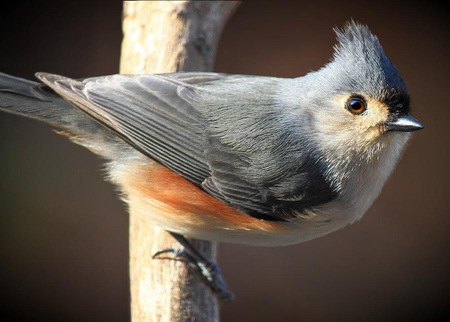 Tuffed Titmouse by Paul Mays - Animals Birds