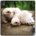 Cooper's Hawk Chicks