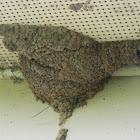 Lesser Striped Swallow (Nest)