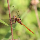 Fiery Skimmer Dragonfly (female)