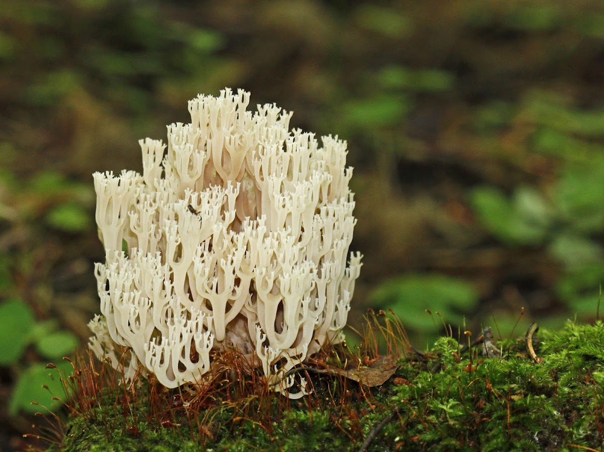 CROWN TIPPED CORAL FUNGUS
