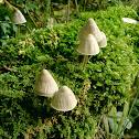 Conocybe albipes