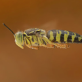 Fly by Balox Berhati Nyaman - Animals Insects & Spiders ( flying, macro, nature, macro photography, fly, insects, natural, macro shot )