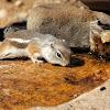 Texas Antelope Squirrel
