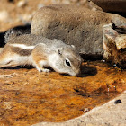 Texas Antelope Squirrel