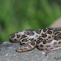 Spotted House Snake