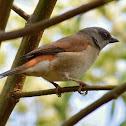 Grey-headed Sparrow