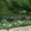 Aligator Gar