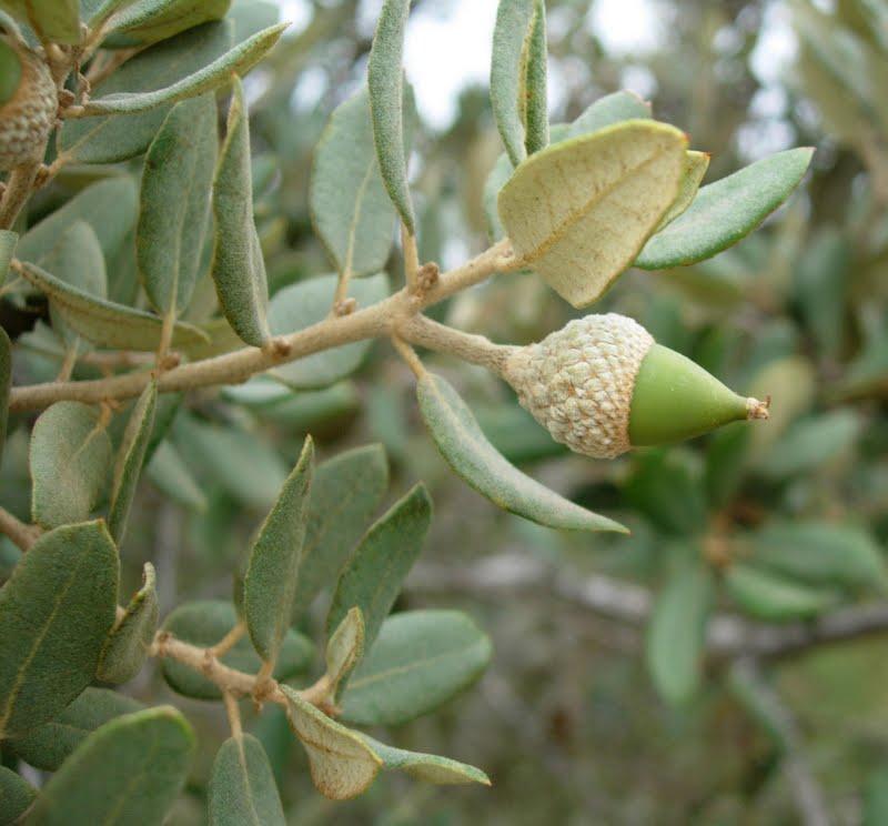 Bellotas de Quercus suber (alcornoque)