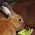 Mini Rex Rabbit