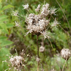 Queen Anne's lace (seed-head)