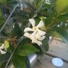 Star jasmine (Trachelospermum jasminoides)