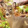White-tailed Deer (Female, Doe)
