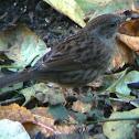 Female Hause Sparrow