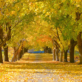 Maple Street by  J B  - Nature Up Close Trees & Bushes ( fall leaves on ground, fall leaves, maple tees, fall, maple street, maple leaves )