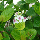 Yellow-Vein Eranthemum