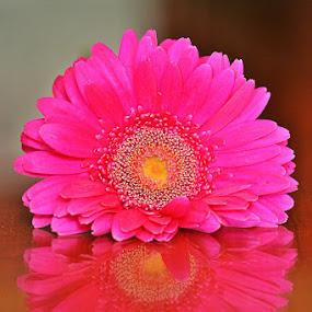 Flower Reflection by Diadjeng Laraswati H - Flowers Single Flower (  )