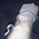 European cat snake , Αγιόφιδο