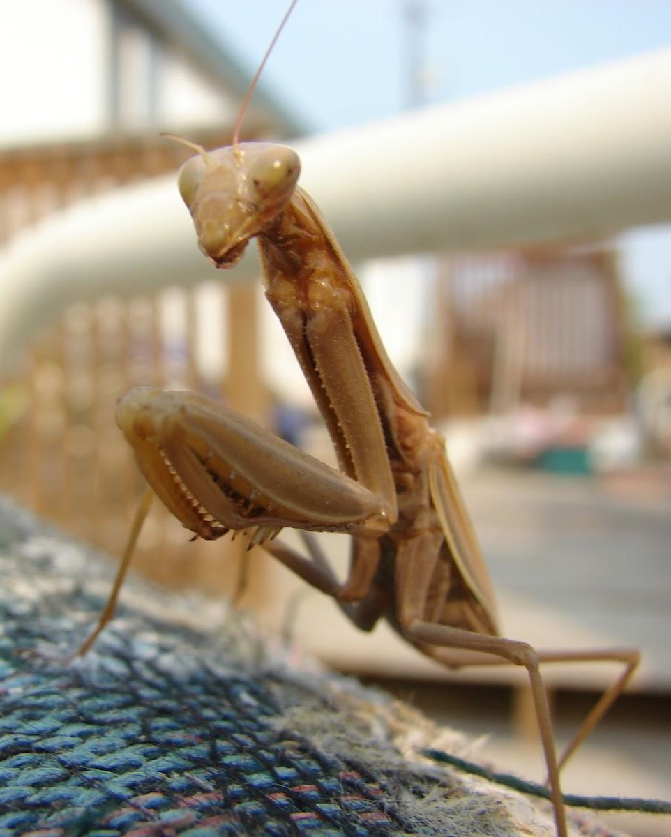 Tan praying mantis