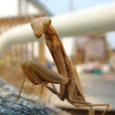 Tan praying mantis