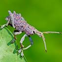 Unknown Weevil Beetle