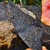 Black Witch Moth/Mariposa de la Muerte