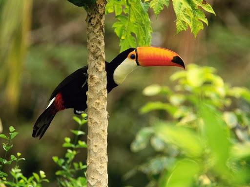 Toucan Bird HD Wallpaper