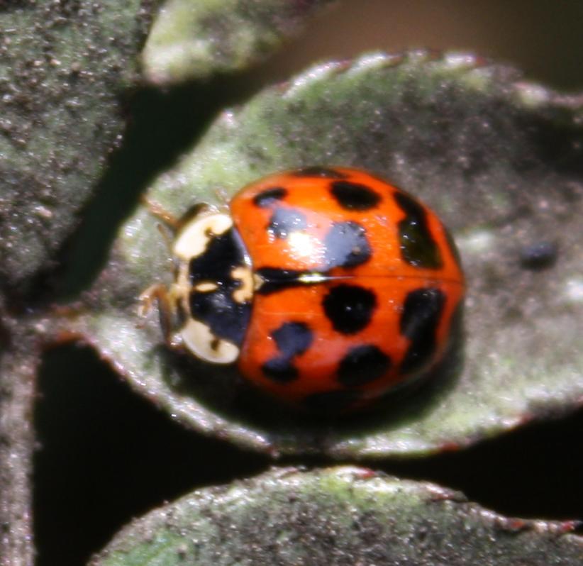Chinita Arlequín / Asian Lady Beetle