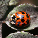 Chinita Arlequín / Asian Lady Beetle