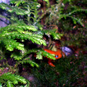 Orange Mantella Frog
