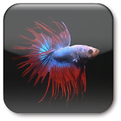 Betta Fish Live Wallpaper ★