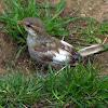 Sparrow chick with Leucism