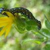 Cucillia Moth Caterpillar