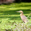 Javan Pond Heron (Non Breeding Adult)