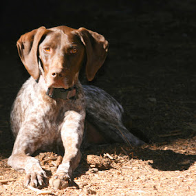 Just Out of the Shadows by Krys George - Animals - Dogs Portraits ( german short-haired pointer, german shorthaired pointer, pointer, dog portrait, brown, dog, shadows,  )