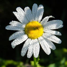 Morning Dew by Nancy Arehart - Flowers Flowers in the Wild ( shadow, daisy, lone, dew drops, flower )