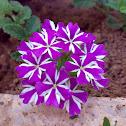"Verbena 'Lanai Purple Star'- لويزة ,رعي الحمام ""لاناي النجمة البنفسجية )"