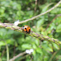 Variable Lady Beetle