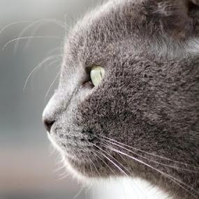 by Otetea Ovidiu - Animals - Cats Portraits ( #GARYFONGPETS, #SHOWUSYOURPETS )