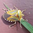 Mattiphus Shield Bug
