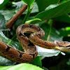 Eastern cat snake