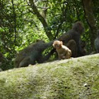 Rhesus monkey 普通獼猴