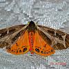 Mariamne's Giant Flag Moth