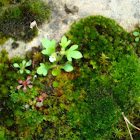 Rue-leaved Saxifrage