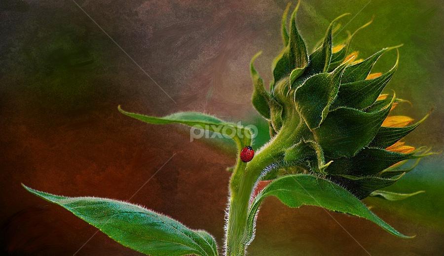 a lady in the sun by John Kolenberg - Uncategorized All Uncategorized ( jardine, sunflower, ladybug, insect, garden, girosol, hope,  )