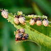 False potato beetle (larvae)