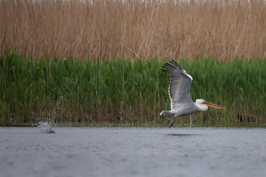 Magic Delta by Ionel Onofras - Animals Birds ( wildlife wild photo, pelecans, fly, delta, birds )