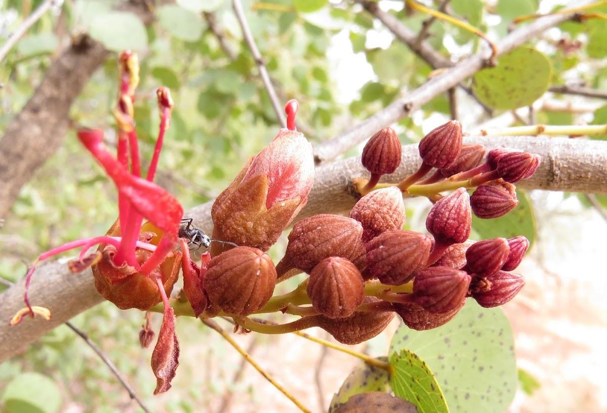 Jigal Tree ( Kimberley Bauhinia)